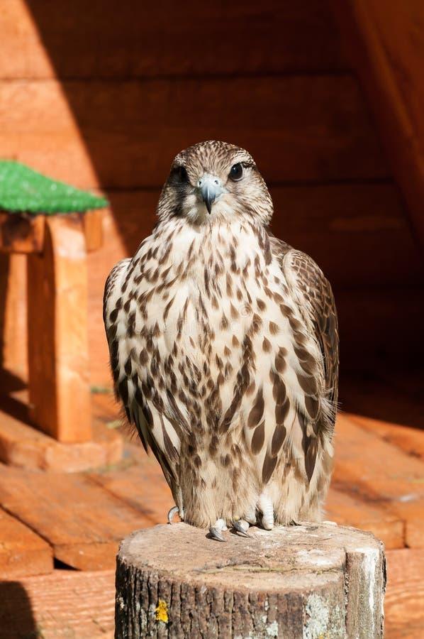 Retrato del pájaro del saker que se sienta en una mirada del tocón y del cierre de árbol foto de archivo