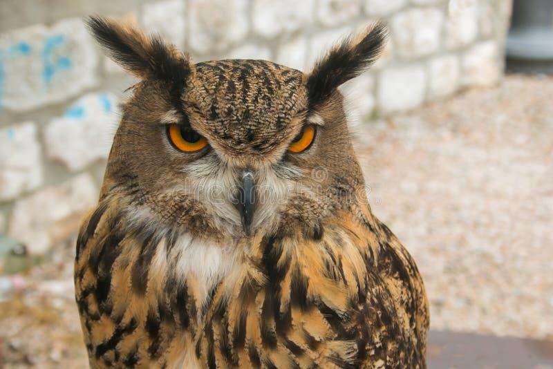 Retrato del pájaro nocturno del búho con los ojos grandes fotografía de archivo