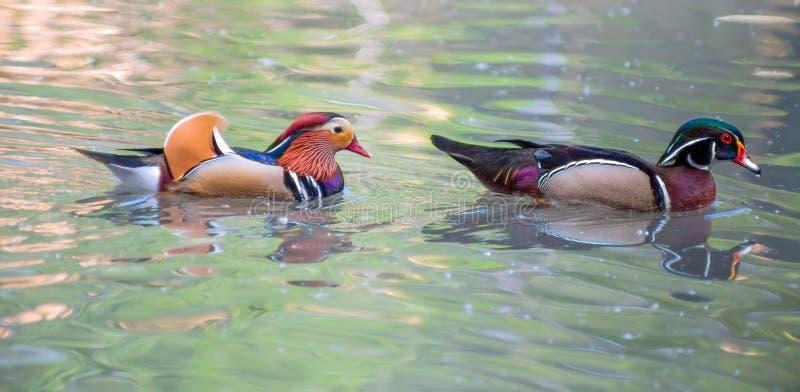 Retrato del pato de mandarín y del pato de madera fotos de archivo libres de regalías