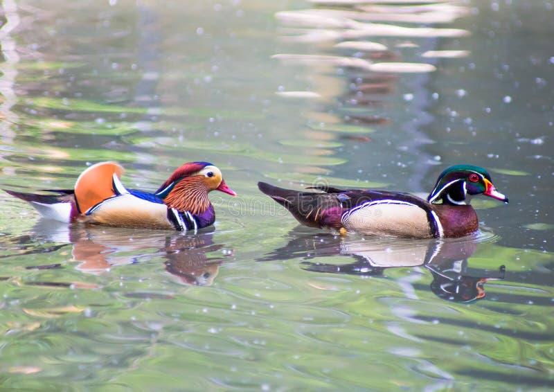 Retrato del pato de mandarín y del pato de madera imagenes de archivo