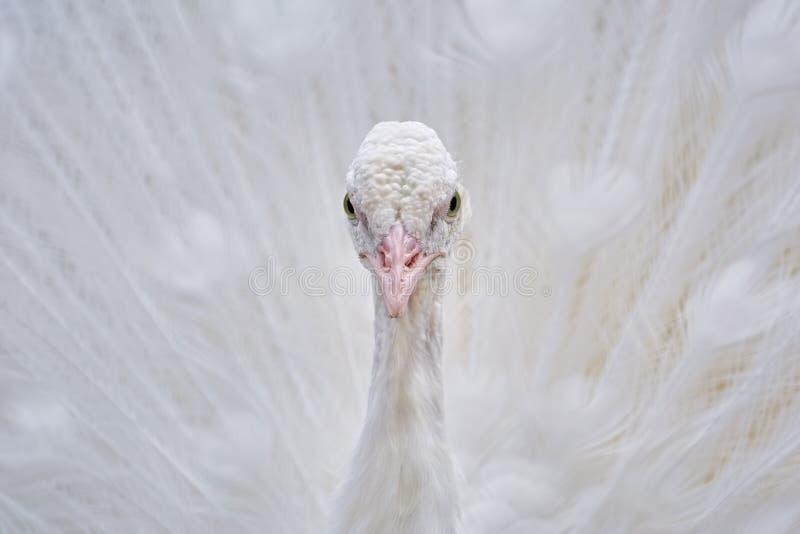 Retrato del pavo real blanco fotografía de archivo libre de regalías