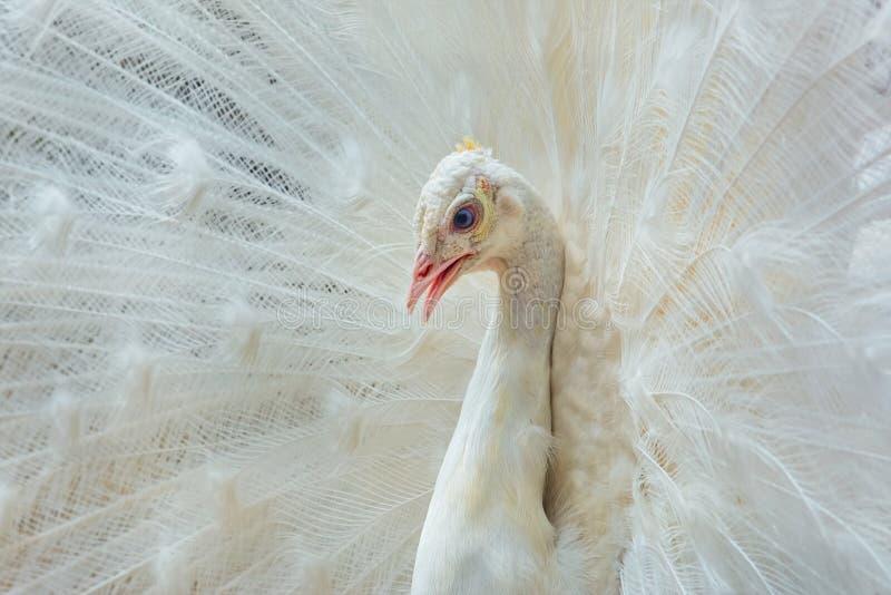 Retrato del pavo real blanco imagenes de archivo