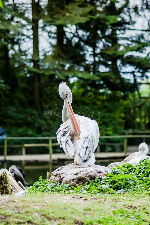 Retrato del pelícano en el parque zoológico fotos de archivo libres de regalías