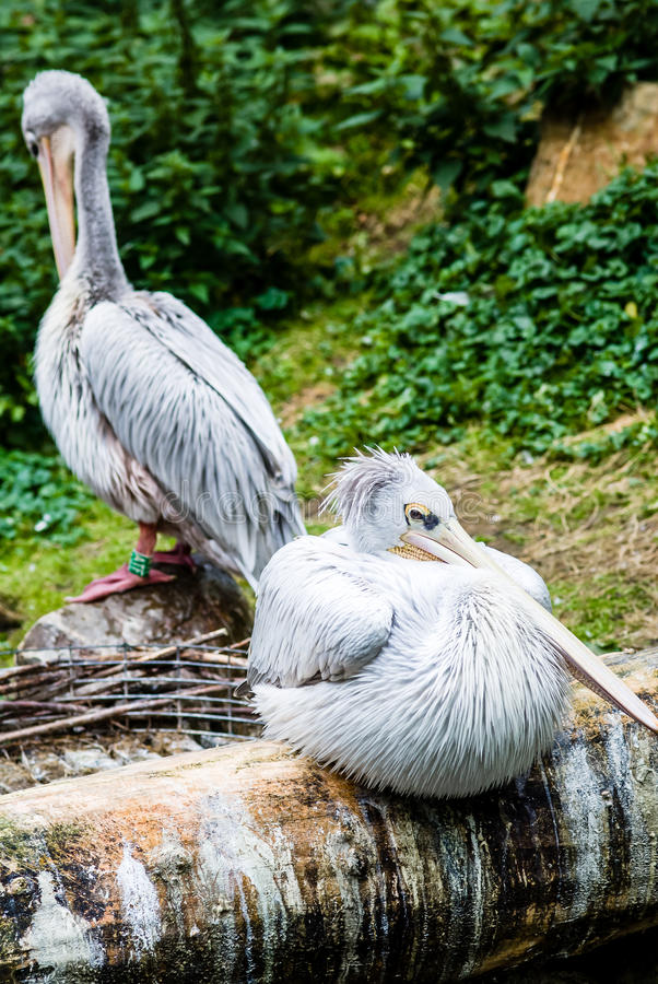 Retrato del pelícano en el parque zoológico imagenes de archivo