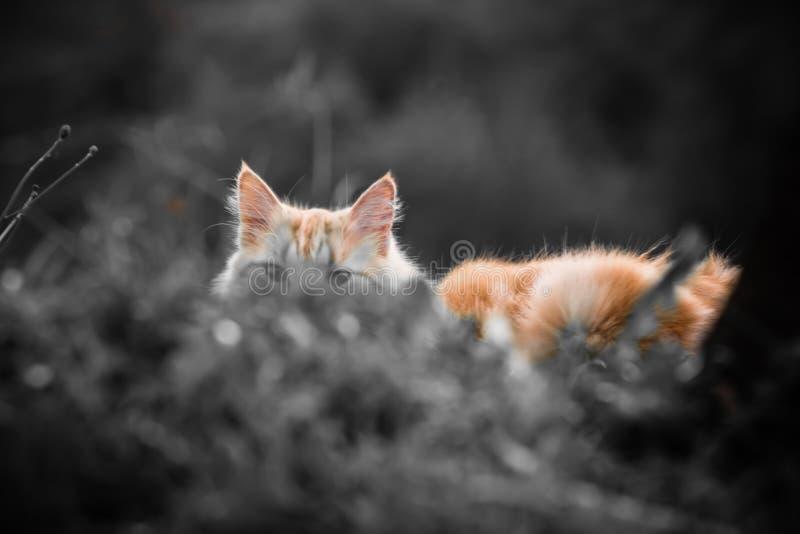 Retrato del pequeño gato travieso vagabundo anaranjado lindo que miente en el tronco de árbol que oculta y que mira a través de h fotografía de archivo libre de regalías