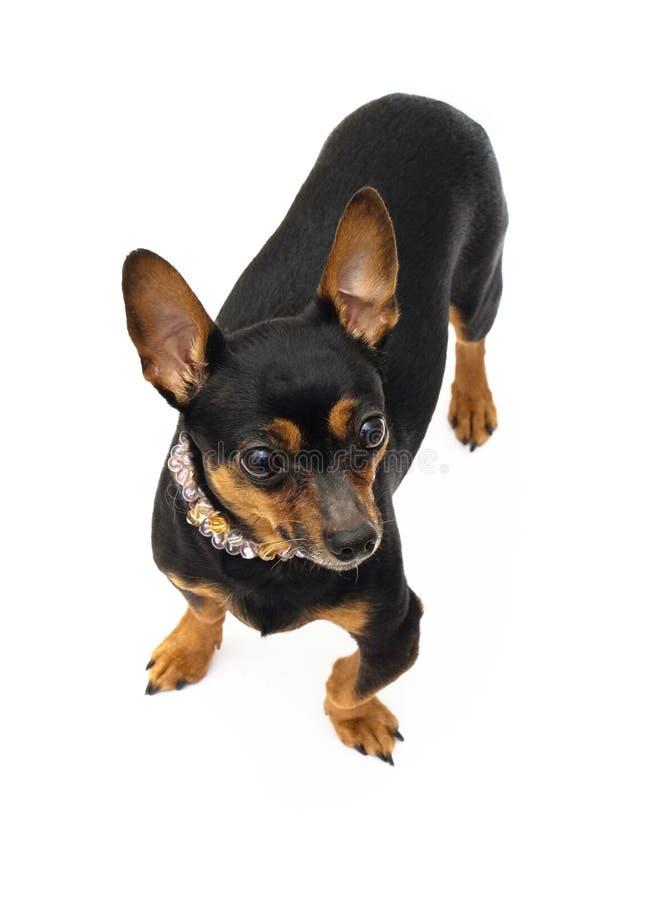 Retrato del pequeño perro fotografía de archivo libre de regalías
