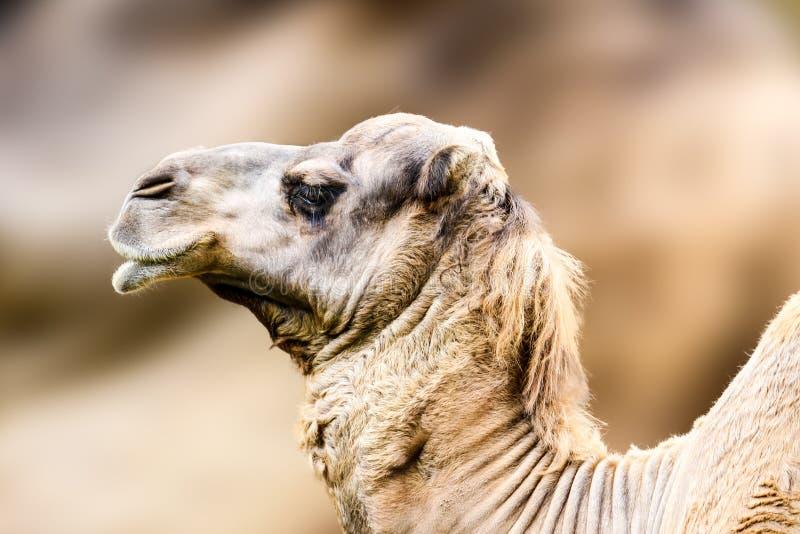 Retrato del perfil del cierre del dromedarius del Camelus del dromedario o del camello imagenes de archivo