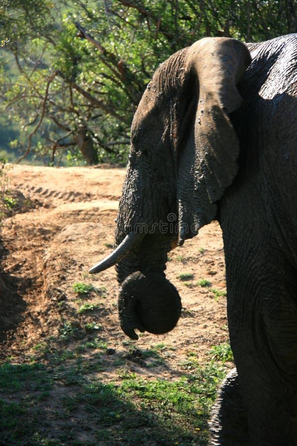 Retrato del perfil del elefante africano con los colmillos y el tronco encrespado foto de archivo