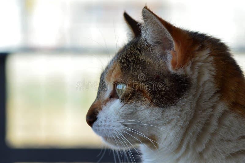 Retrato del perfil del gato de casa fotos de archivo