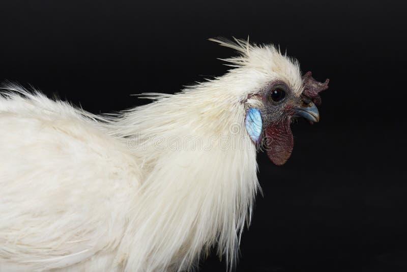 Retrato del perfil del pollo blanco imagen de archivo