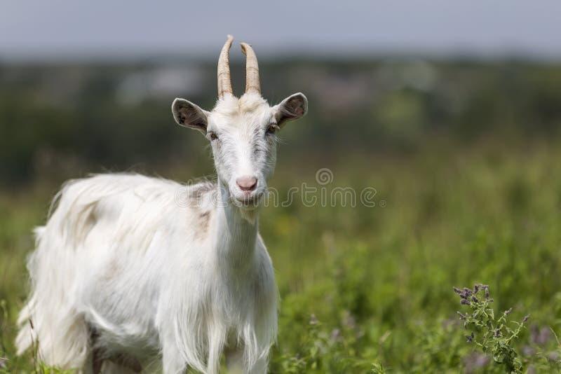 Retrato del perfil del primer de cabras barbudas melenudas blancas agradables con imagenes de archivo
