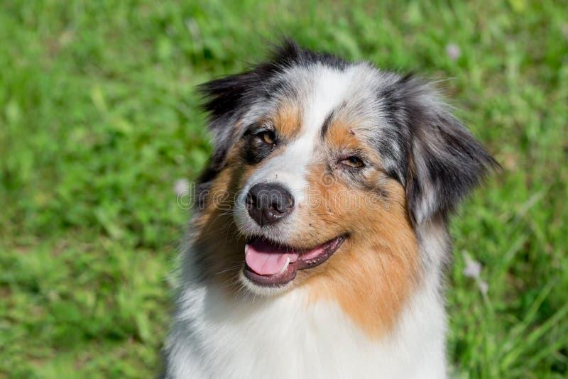 Retrato del perrito australiano lindo del pastor Animales de animal dom?stico foto de archivo
