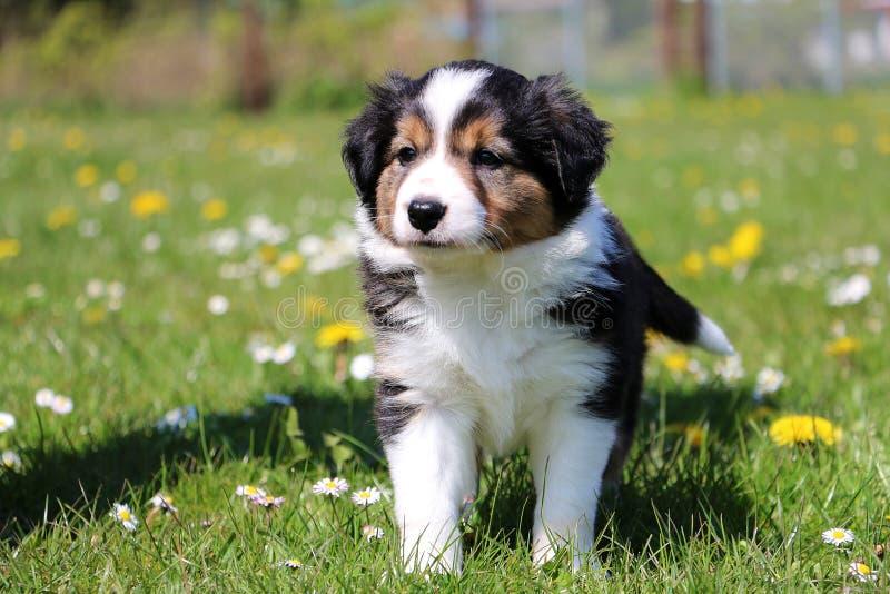 Retrato del perrito del border collie en el jardín imágenes de archivo libres de regalías