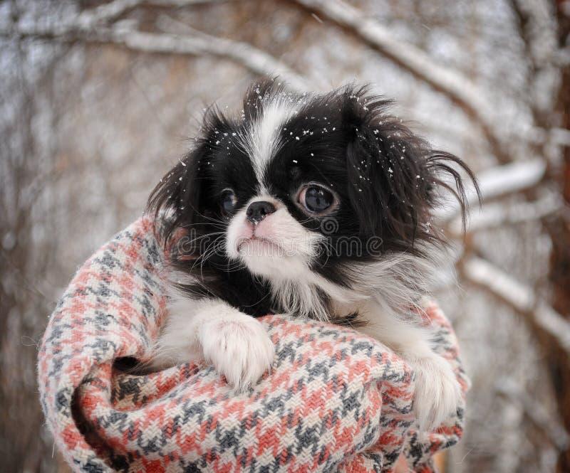 Retrato del perrito japonés de la barbilla fotos de archivo