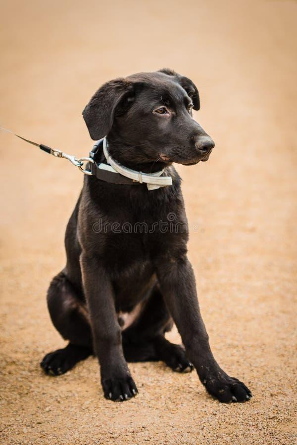 Retrato del perrito negro joven adorable del perro de Labrador imagenes de archivo