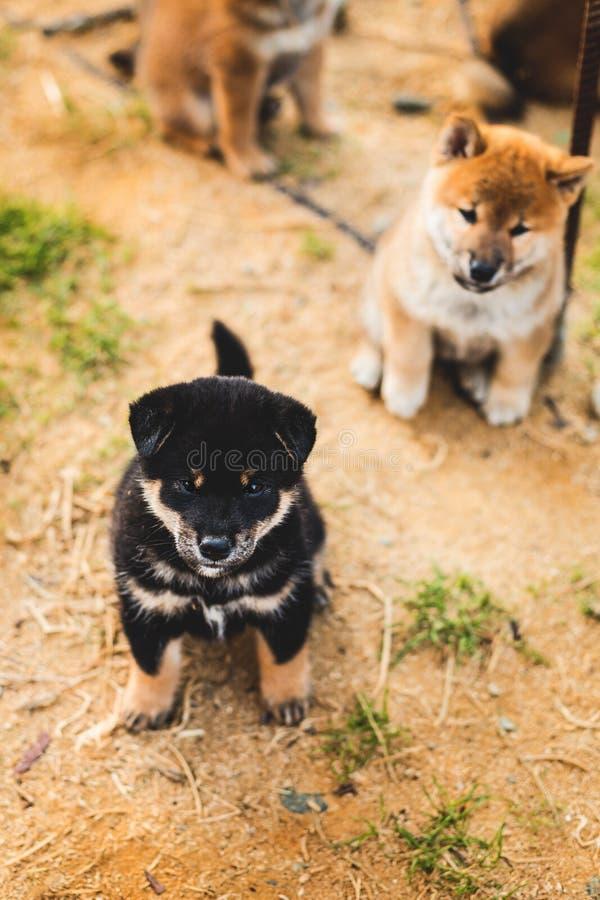 Retrato del perrito negro y del moreno lindo del shiba del inu que se sienta afuera en la tierra y que mira a la cámara fotos de archivo libres de regalías