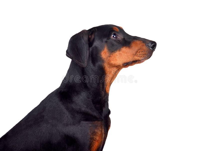 Retrato del perrito del Pinscher del Doberman foto de archivo