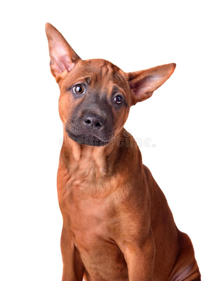 Retrato del perrito tailand?s del ridgeback imagenes de archivo