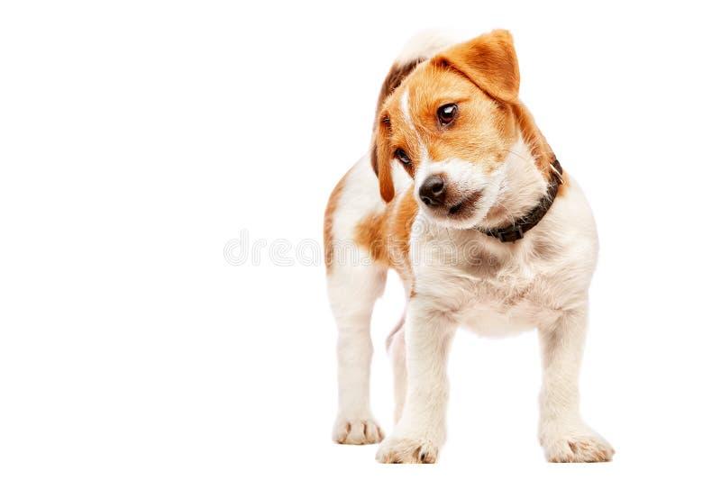 Retrato del perrito del terrier de Gato Russell Imagen admitida un estudio fotografía de archivo libre de regalías