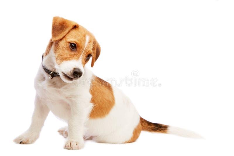 Retrato del perrito del terrier de Gato Russell Imagen admitida un estudio imagenes de archivo