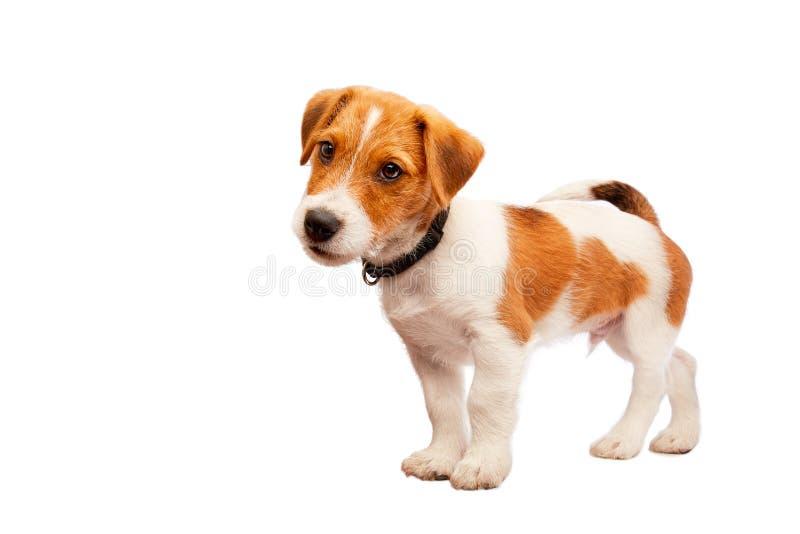 Retrato del perrito del terrier de Gato Russell Imagen admitida un estudio imagen de archivo