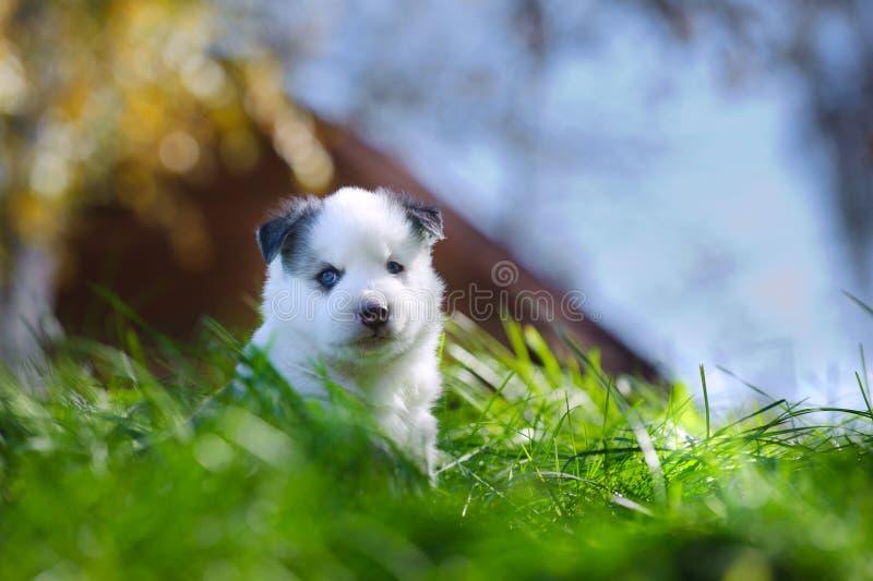 Retrato del perrito yakutian del laika imagen de archivo