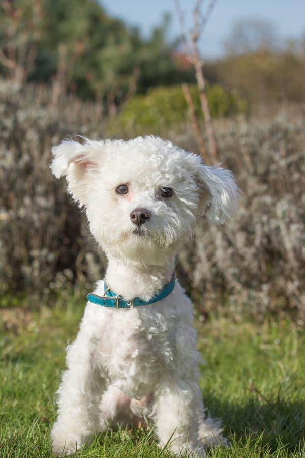 Retrato del perro boloñés al aire libre imagenes de archivo