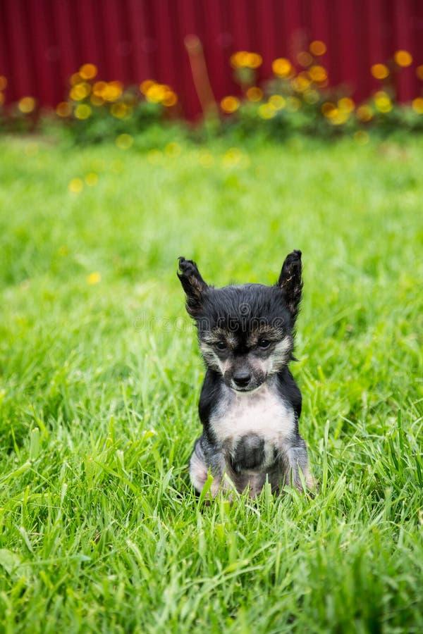 Retrato del perro con cresta chino de la raza sin pelo negra del perrito que se sienta en la hierba verde el día de verano imagenes de archivo