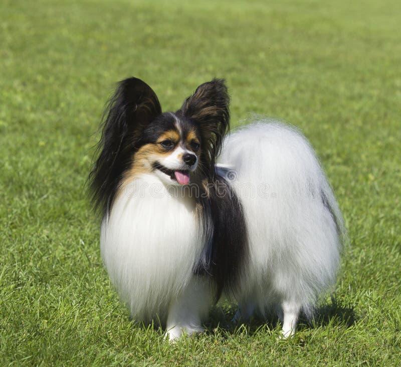Retrato del perro criado en línea pura de Papillon fotografía de archivo