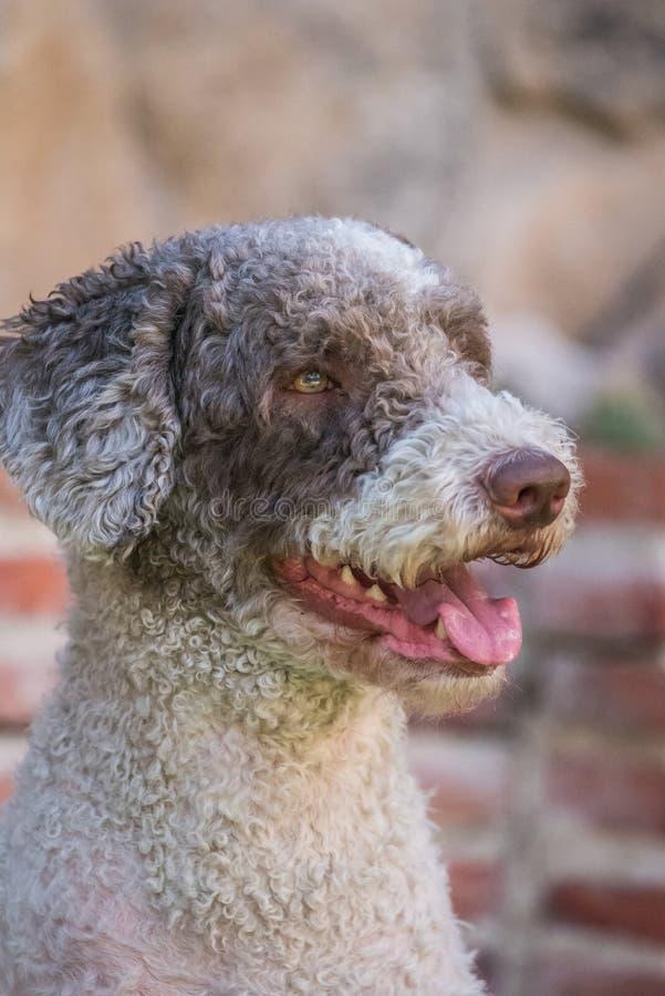 Retrato del perro de aguas blanco y marrón fotos de archivo libres de regalías