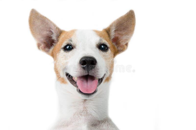 Retrato del perro de Jack Russel en el fondo blanco imagen de archivo