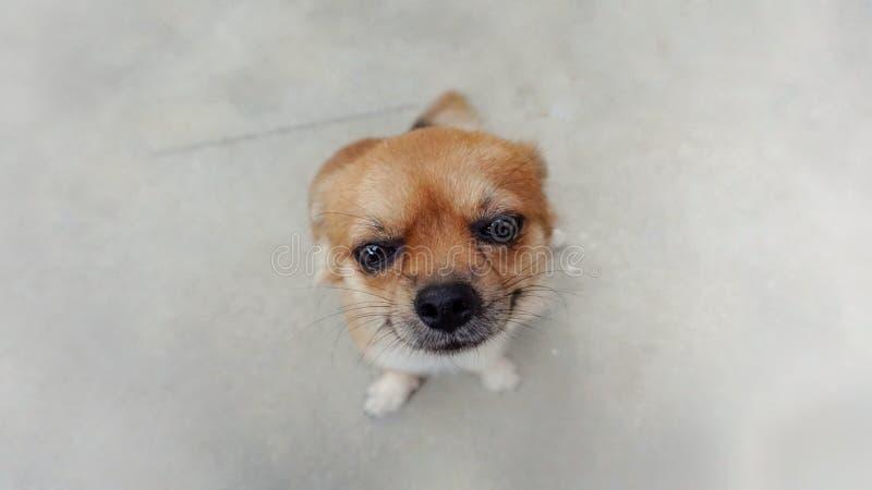 Retrato del perro de la chihuahua fotos de archivo libres de regalías