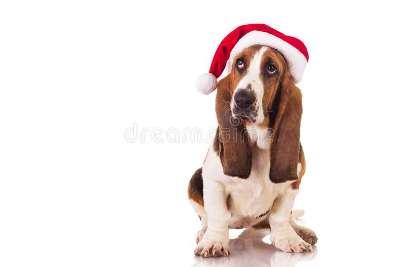 Retrato del perro de la Navidad fotos de archivo libres de regalías