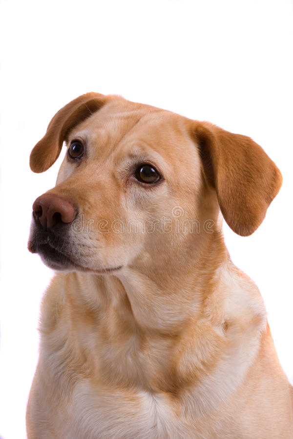 Retrato del perro de Labrador fotos de archivo libres de regalías