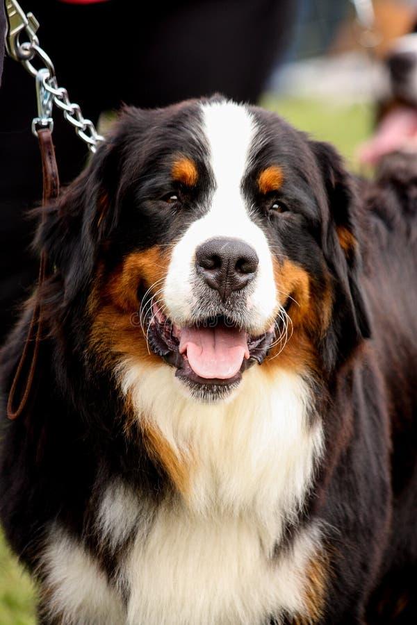 Retrato del perro de montaña de Bernese feliz foto de archivo libre de regalías