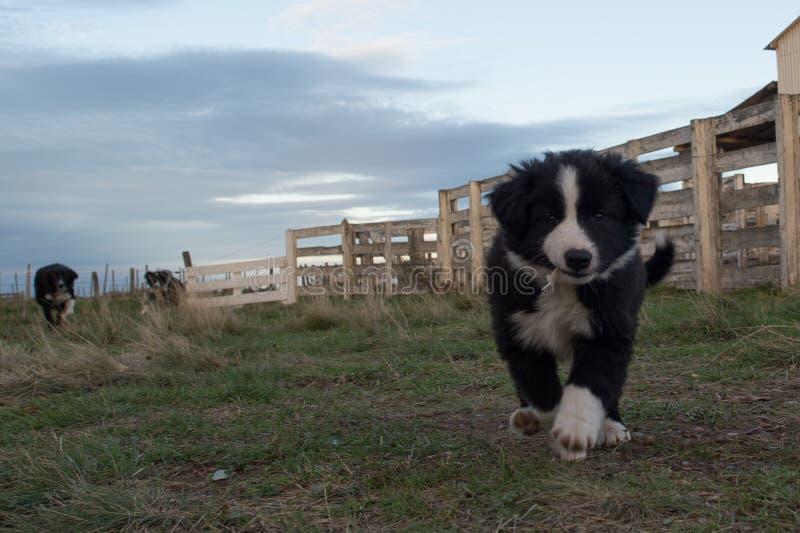 Retrato del perro de perrito del border collie que le mira fotos de archivo