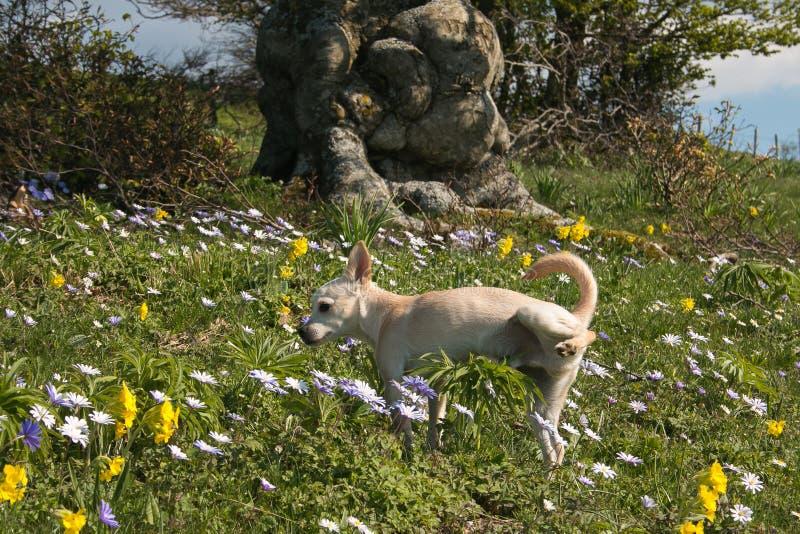 Retrato del perro de perrito que hace pis en el prado floreciente imagen de archivo