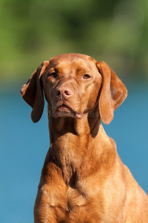 Retrato del perro de Vizsla imagen de archivo libre de regalías