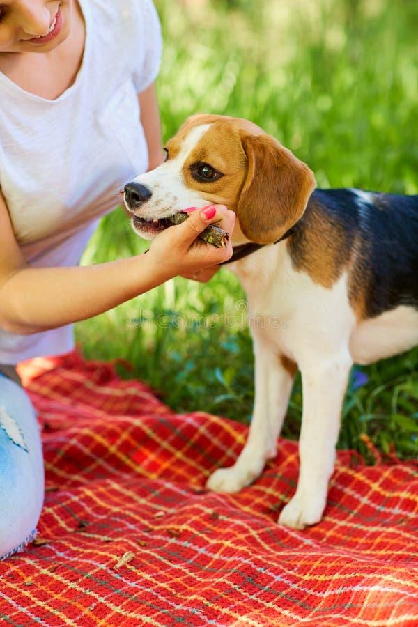 Retrato del perro del beagle foto de archivo