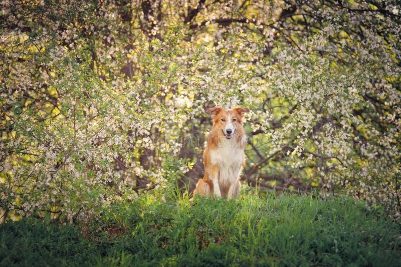 Retrato del perro del border collie en primavera fotografía de archivo libre de regalías