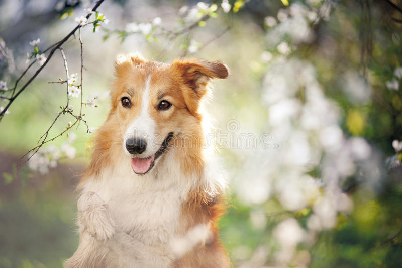 Retrato del perro del border collie en primavera fotos de archivo libres de regalías