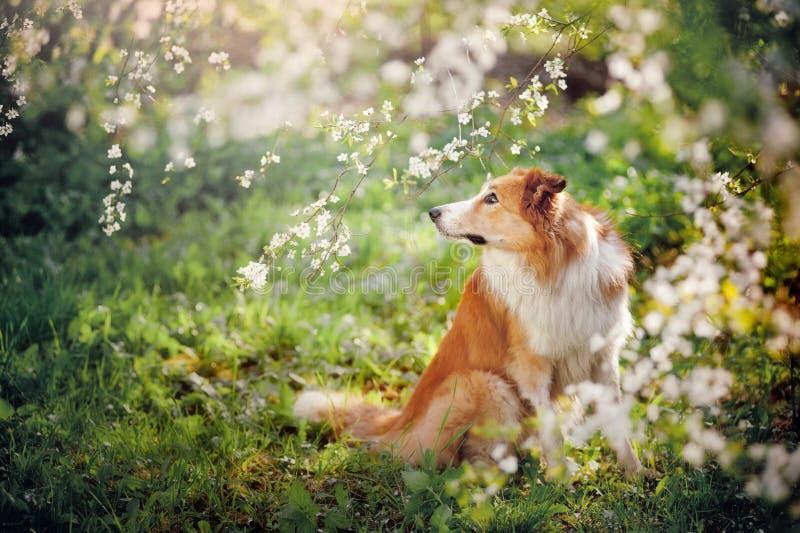 Retrato del perro del border collie en primavera fotografía de archivo