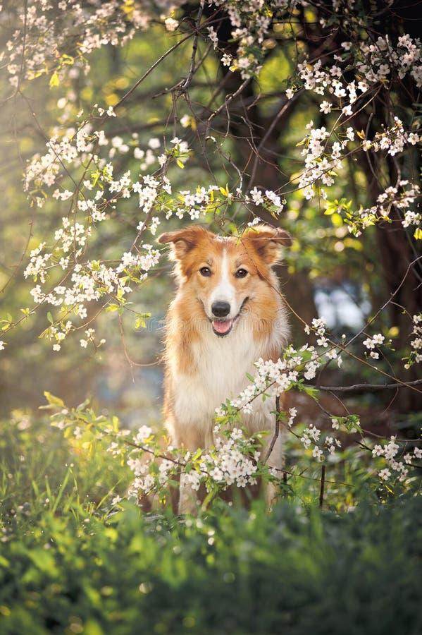Retrato del perro del border collie en primavera imagenes de archivo