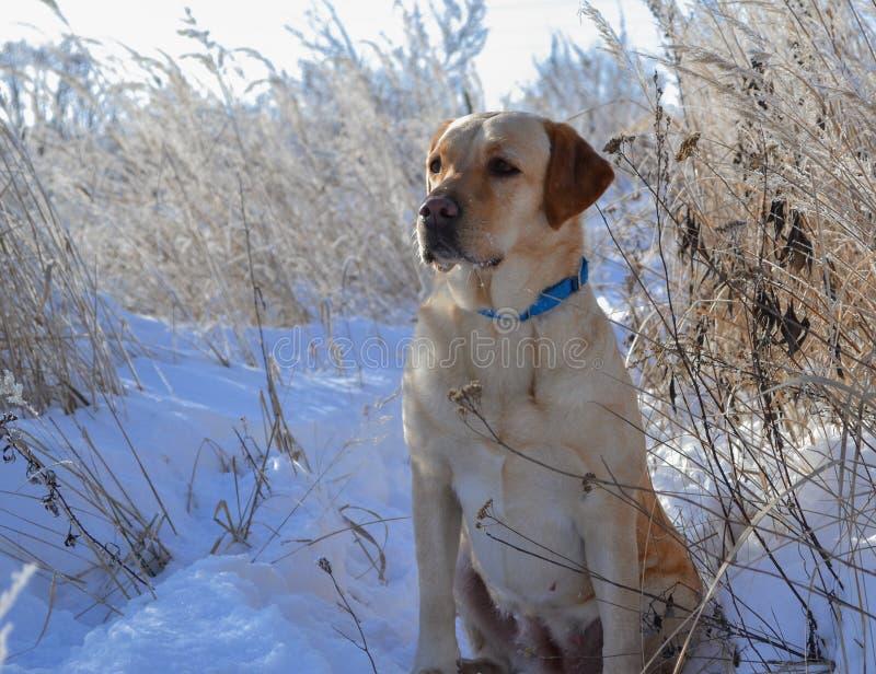 Retrato del perro del invierno fotografía de archivo libre de regalías