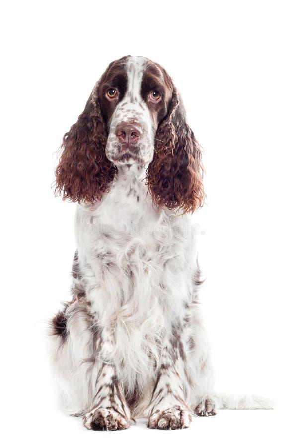 Retrato del perro del perro de aguas de saltador de Brown foto de archivo