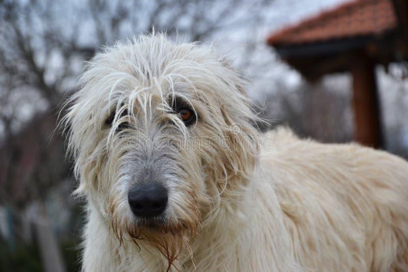 Retrato del perro del perro lobo irlandés de la belleza que presenta en el jardín fotos de archivo