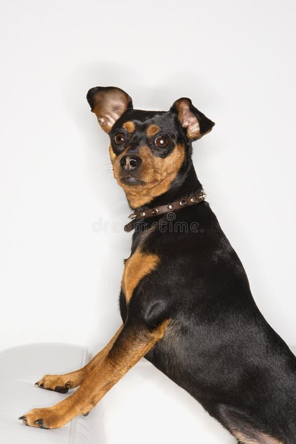Retrato del perro del Pinscher miniatura. foto de archivo