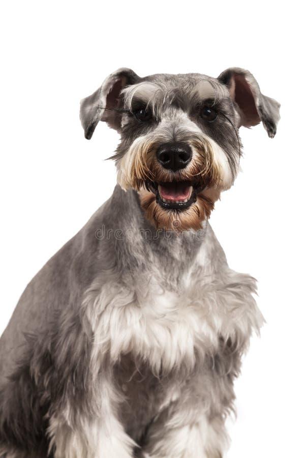 Retrato del perro del Schnauzer imagenes de archivo