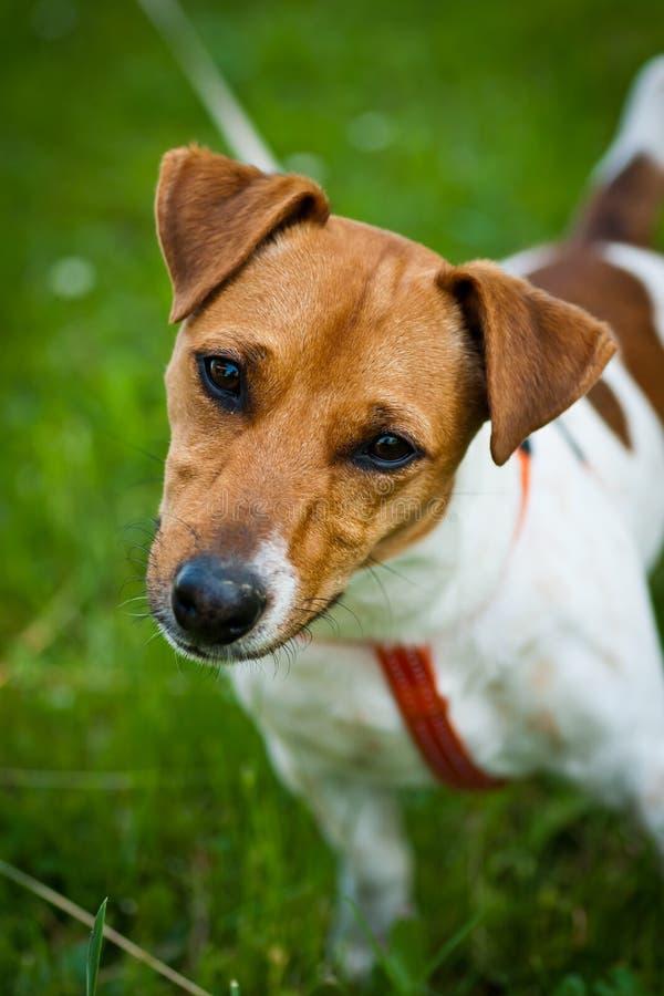 Retrato Del Perro Del Terrier De Gato Russell Imagen de archivo