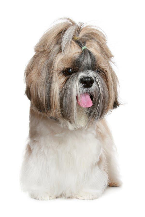 Retrato del perro del tzu de Shih en blanco fotografía de archivo libre de regalías